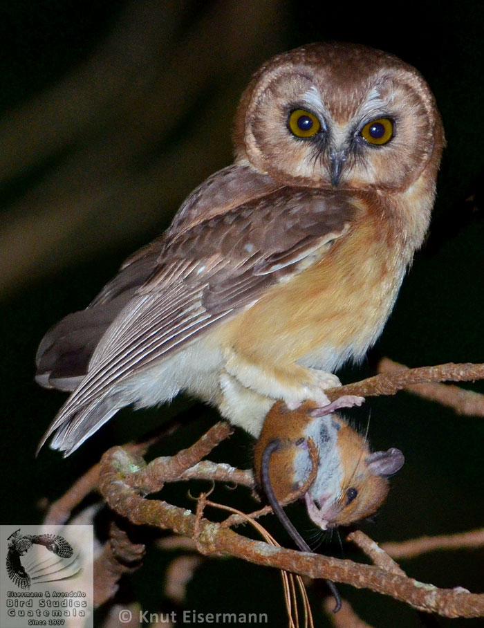 Unspotted Saw-whet Owl Aegolius ridgwayi with prey