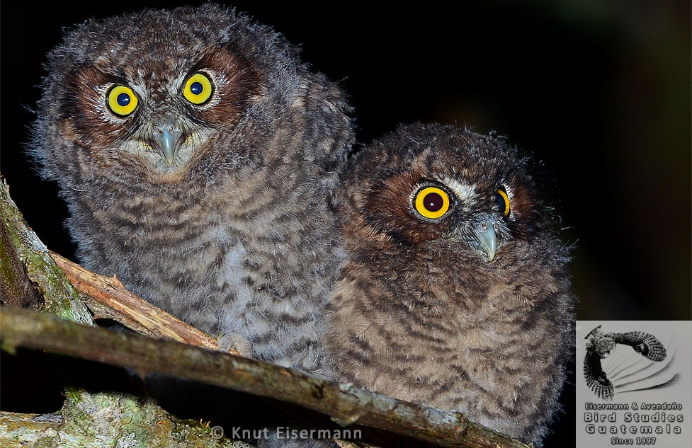 Bearded Screech-Owls