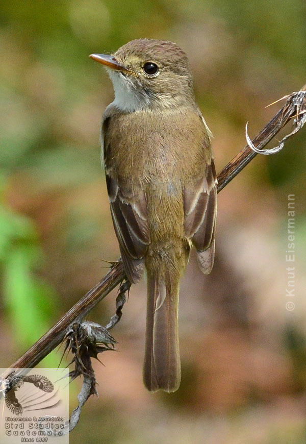 adult White-throated Flycatcher