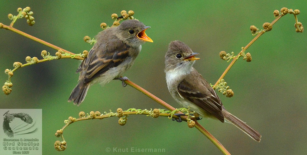 Adult White-throated Flycatcher with juvenile