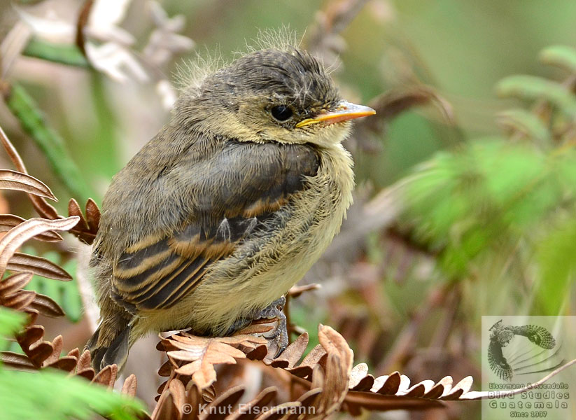 fledgling of White-throated Flycatcher