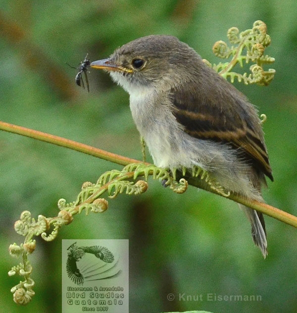 juvenile White-throated Flycatcher with wasp