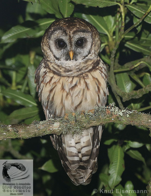 adult Fulvous Owl