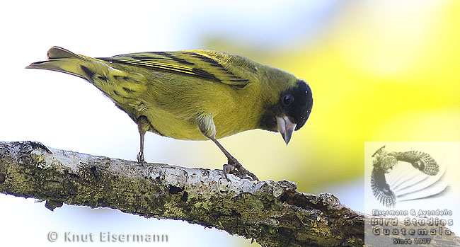 Black-capped Siskin