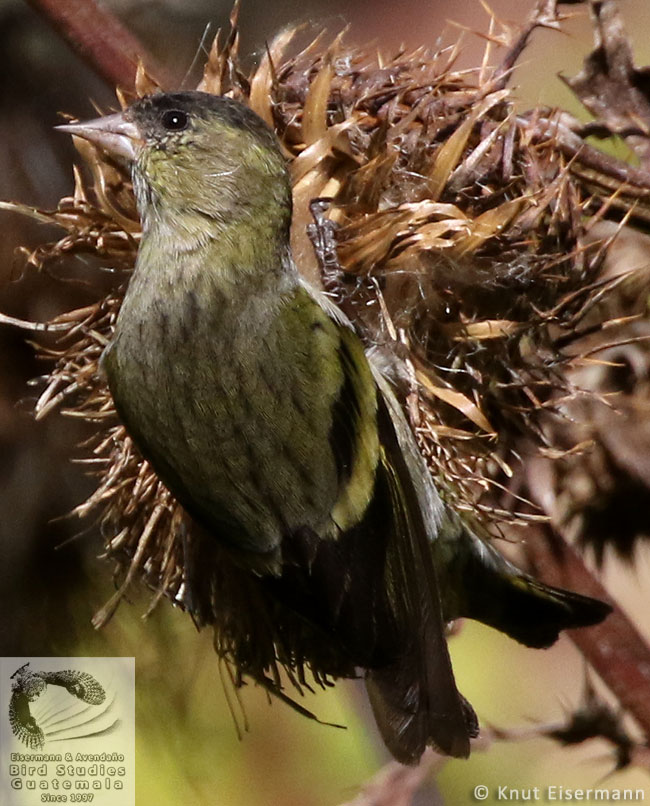 immature Black-capped Siskin