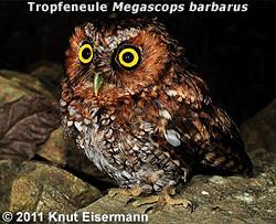 Tropfeneule (Megascops barbarus)