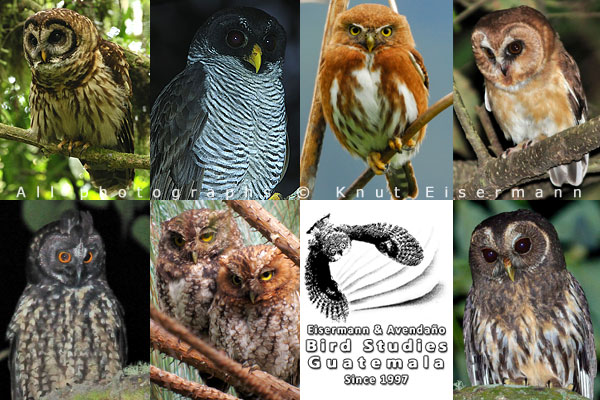 Owls of Guatemala